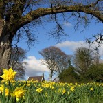 Spring and Overall RTE Photo Competition Winner 2005 - Daffodils in Belvoir